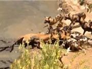 Clip: Cuộc giết chóc man rợ của bầy cho hoang