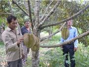 Dân đổ xô trồng sầu riêng khi giá bán tăng, rủi ro tiềm ẩn
