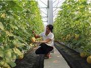 Kỹ thuật trồng dưa lưới công nghệ cao