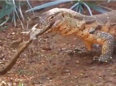 Clip: Vừa chào đời, cá sấu con đã bị kỳ đà xơi tái