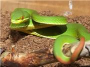 Hướng dẫn cách xử trí khi bị rắn độc cắn