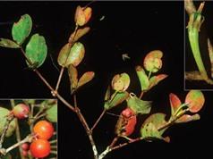 Phát hiện loài thực vật mới tại Lâm Đồng