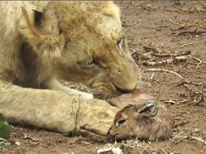 Clip: Sư tử hành hạ linh dương con cực kỳ tàn khốc