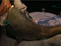 Clip: Câu được cá trê dài 2m, nặng 180kg