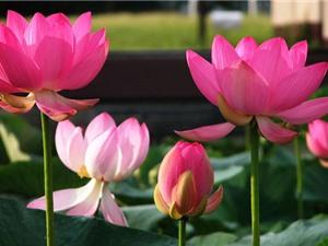 Chiêm ngưỡng vẻ đẹp của loài hoa là Quốc hoa của hai quốc gia