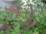 Kỹ thuật trồng cây hương nhu trong thùng xốp làm dược liệu