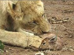 CLIP ĐỘNG VẬT ĐẠI CHIẾN ẤN TƯỢNG NHẤT TUẦN: Sư tử hành hạ linh dương, kỳ đà giết cá sấu