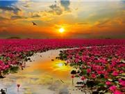 Mướt mắt trước chùm ảnh về những cánh đồng hoa khoe sắc thắm