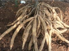 Quy trình trồng và chăm sóc cây sắn dây đúng kỹ thuật