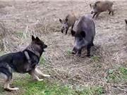 """Clip: Màn """"quẩn ẩu"""" kịch liệt giữa chó Becgie và lợn rừng"""