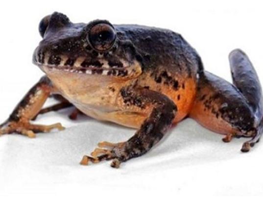 Tìm thấy loài ếch bụng đỏ tưởng như tuyệt chủng tại Costa Rica