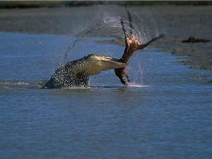 Clip: Cá sấu khổng lồ đoạt mạng kangaroo trong nháy mắt