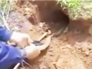 Clip: Dùng tay không bắt 2 con rắn hổ mang ở Hà Nội