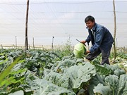 Lâm Đồng: Tay không thu trăm triệu chỉ nhờ trồng rau