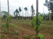 Cao Bằng: Xây dựng mô hình trồng nho Cự Phong và Tảo Hồng