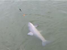 Clip: Câu được cá trắm ốc 27 kg ở Chương Mỹ, Hà Nội