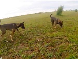 Clip: Màn đối đầu kịch tính giữa 2 chú chó và con rắn