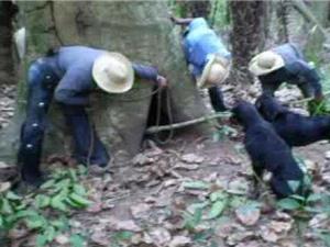 """Clip: """"Chết cười"""" với cảnh cao bồi bắt lợn rừng trong hốc cây"""