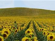 """""""Hoa mặt trời"""" - loài hoa biểu trưng cho sự chung thủy, kiên định và uy quyền"""