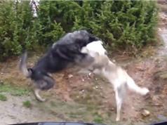 Clip: Màn hỗn chiến không khoan nhượng giữa 2 chú chó