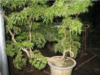 Dùng cây đinh lăng lợi hay hại?