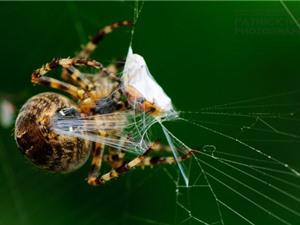 Nhện ướp xác bọ cạp làm đồ ăn dự trữ