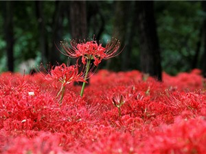 Nét kiêu sa, bí ẩn của loài hoa đẹp như pháo hoa nở rộ