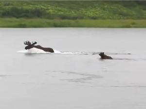 Clip: Gấu nâu lao xuống sông truy sát nai sừng tấm