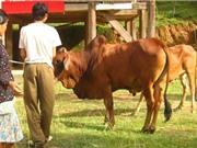 Khai thác và phát triển nguồn gen bò u đầu rìu