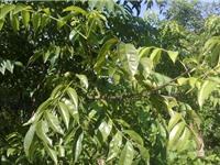 Hướng dẫn trồng cây mắc mật vừa làm gia vị vừa làm thuốc