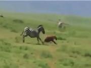 """Clip: Linh cẩu bị ngựa vằn """"tẩn nhừ xương"""""""