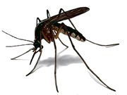 Clip: Quá trình sinh trưởng và phát triển của muỗi truyền bệnh
