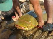 Clip: Tóm gọn cá lăng vàng to như người