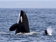 Cá voi sát thủ lén theo ngư dân để hốt trọn mẻ cá