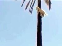 """Clip: Dê bị """"thần khỉ nhập"""", trèo lên cây cọ cao chót vót"""