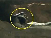 Clip: Rắn mamba đen vào hang truy sát chuột