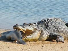 Clip: Cá sấu bò lên bờ cướp cá mập của ngư dân