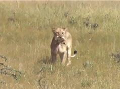 Clip: Đói ăn, sư tử sát hại 5 chú đà điểu con