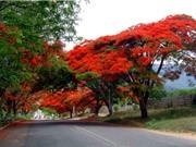 """Ngắm vẻ đẹp """"rực lửa"""" của loài hoa gắn liền với tuổi học trò"""