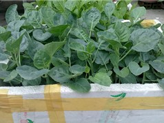 Hướng dẫn trồng và chăm sóc rau cải rổ