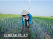 Cấy lúa hàng biên không loại trừ cơ giới hóa nông nghiệp