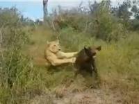 Clip: Bị bỏ rơi, trâu rừng con chết thảm trước nanh vuốt sư tử