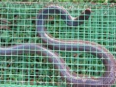 Clip: Bẫy rắn hổ hành ở bãi đất bỏ hoang