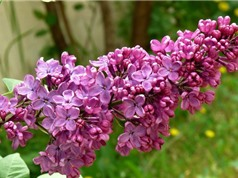 Vẻ đẹp của loài hoa mang ý nghĩa của tình yêu đầu tiên