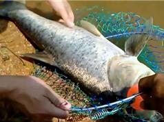 Clip: Cần thủ trổ tài câu cá mè ở Đăk Nông