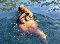 Clip: Gấu mẹ cõng con vượt hồ lớn siêu dễ thương