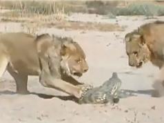 Clip: Màn quyết chiến giữa cá sấu với 2 con sư tử