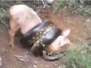 Clip: Trăn khổng lồ chết thảm vì săn trộm lợn của nông dân
