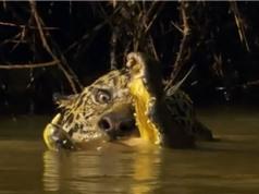 Clip: Báo đốm xuống sông sát hại cá sấu