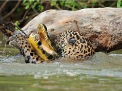 CLIP ĐỘNG VẬT ĐẠI CHIẾN ẤN TƯỢNG NHẤT TUẦN: Hổ săn trộm bò, báo giết cá sấu